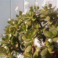 Денежное дерево тоже цветёт :: Ириша ****