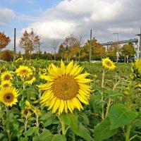 Поле цветущих подсолнухов ...в октябре... :: Galina Dzubina