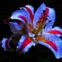 «Вечерняя лилия» :: Александр NIK-UZ