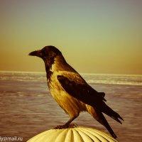 Питерский ворон :: Анастасия Смолина