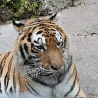 тигр :: elena манас