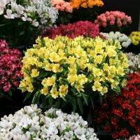 цветы на радость нам даны :: Олег Лукьянов