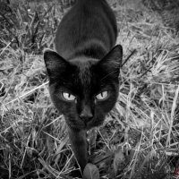 Черный кот :: Igor Sidorov