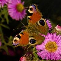 Бабочка :: Алексей Головин