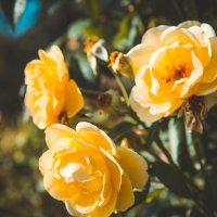 Розы :: Любовь Береснева