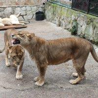 молодые львы :: elena manas