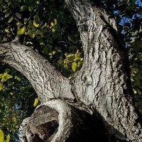 Старое дерево. :: Николай Сидаш