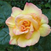 Удивительная роза с двойной серединкой :: Эля Юрасова