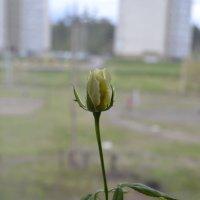 роза :: Татьяна Бурнина