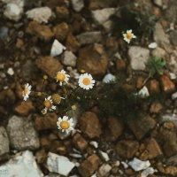 Ромашки на камнях :: Артемий Кошелев