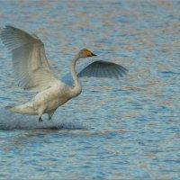 А белый лебедь на пруду... :: Анна Солисия Голубева