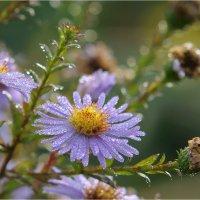 Росинки на цветочных ладошках :: Алла Allasa