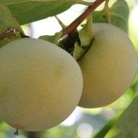 хурма - семянная ягода :: elena manas