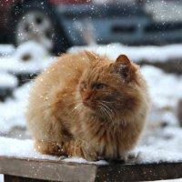Чья-то киса....первый снег.... :: Ольга Бархатова