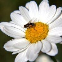 ромашка и пчела :: Александр Иванов