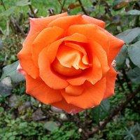 Осенняя роза :: laana laadas