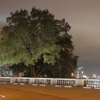 То самое дерево :: Олег