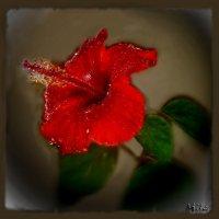 Он, исподволь притягивая взгляд, манит пыльцою трепетных тычинок. :: Людмила Богданова (Скачко)