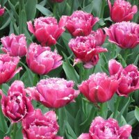 Пионовидные тюльпаны :: Дмитрий Никитин
