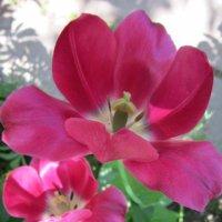 Два тюльпана :: Дмитрий Никитин