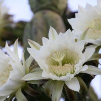Цветение кактуса :: Антонина