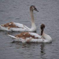 Лебеди :: Наталья Левина