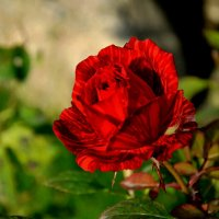 Осенняя роза :: Милешкин Владимир Алексеевич