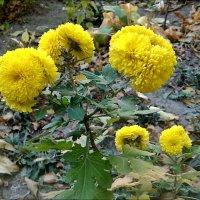 У нас во дворе цветут хризантемы... :: Нина Корешкова