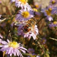 Пчёлка :: Андрей Мышко