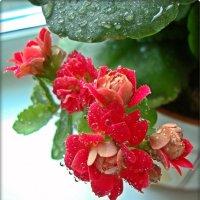 Каланхое расцветает :: Лидия (naum.lidiya)