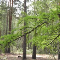 сосновый лес :: Ксения