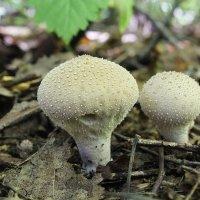 грибы дымовики :: Герман