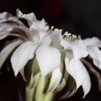 Кактус цветёт . :: Наталья Щёголева