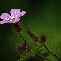 Полевой цветок :: Eduard .