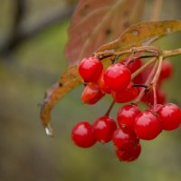 сочной ягоды плоды :: Виктория Владимировна