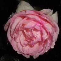 Роза капли :: ДС 13 Митя
