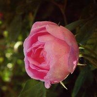 Rose :: Tanya Kozlova