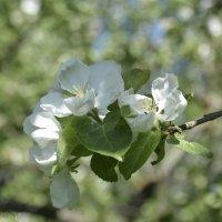 Цветок яблони. :: Виктор Орехов