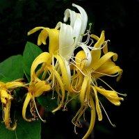 """цветок """"джаш шквинда"""" :: zuri kuprava"""
