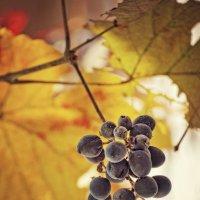 Негламурный виноград :: Ольга Мальцева
