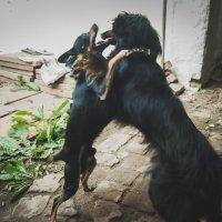 Обнимашки, собачья дружьба. :: Света Кондрашова