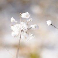 Снежный одуванчик :: Tonya Ko