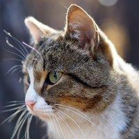 Кот с усами и бровями... :: Александр Попов