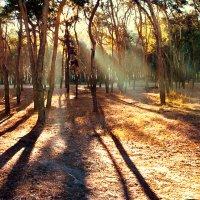 Сосновая роща на просвет в ноябрьском солнце :: Максим Иванов