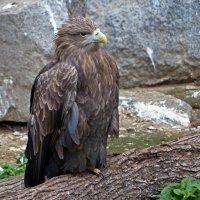 Орел птица гордая :: Александр Запылёнов