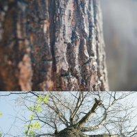 Великое дерево, ДУБ!!! :: Света Кондрашова