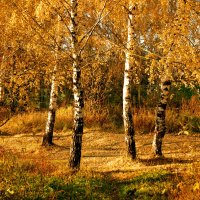 Березки в золоте осеннем... :: НАТАЛИ natali-t8