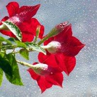 Мокрые цветы у мокрого окна,грустно им сейчас,скоро ведь зима... :: Александр Попов