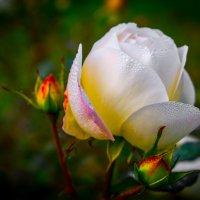 Осенняя роза... :: Viktor Schnell