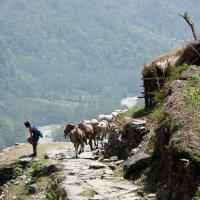 На горной тропе в Гималаях :: Сергей Козинцев